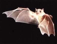 studi-scientifici-pipistrelli